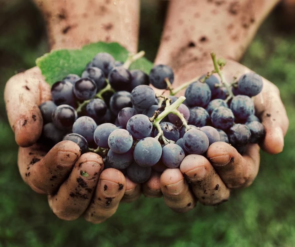 vendemmia, uva , vico cesanese