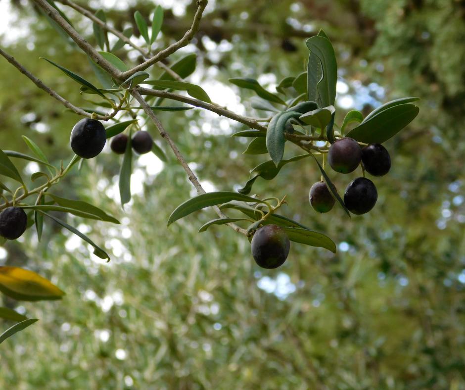 raccolta olio di oliva